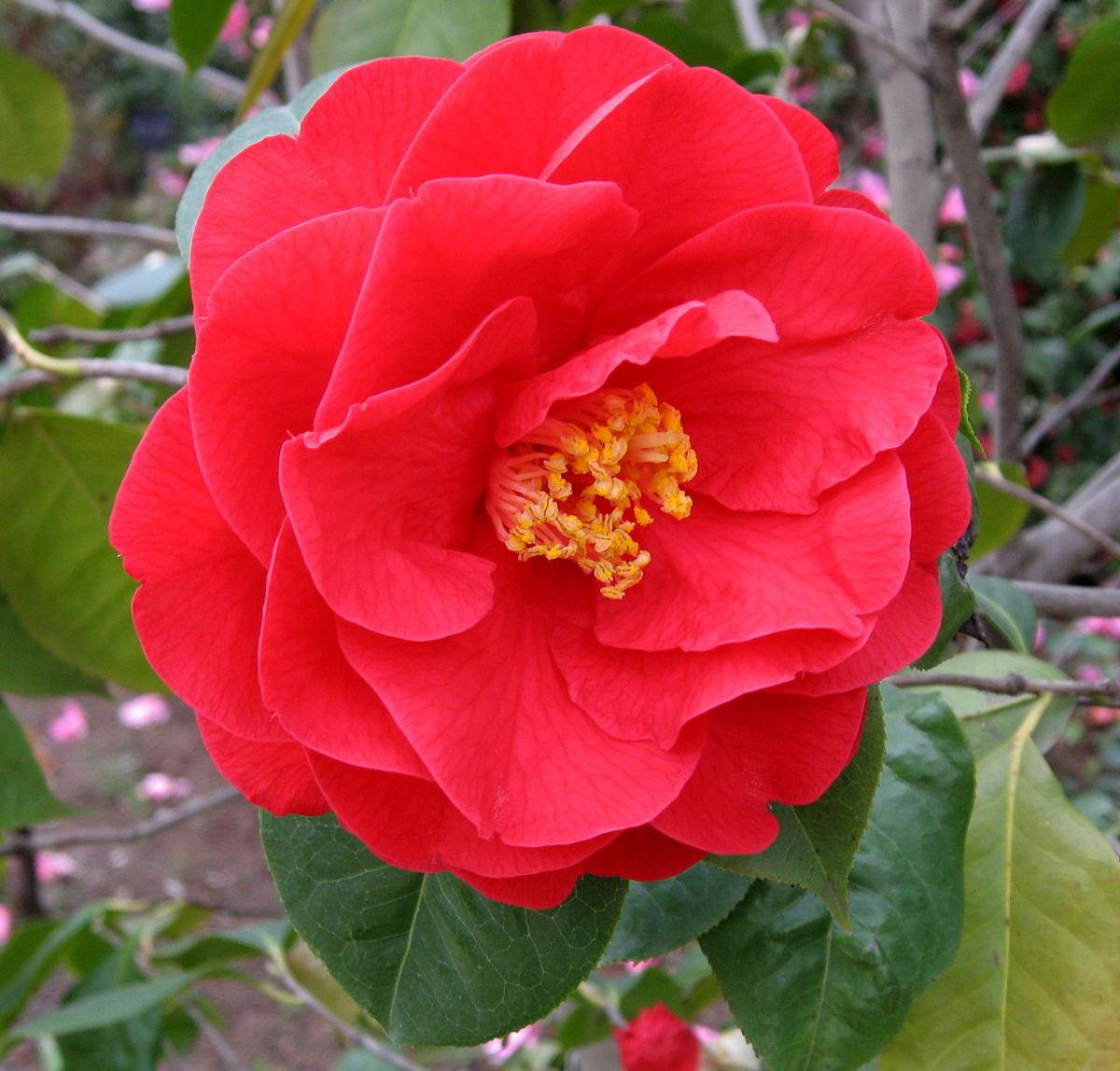 Camellia_'Dr_Clifford_Parks'.jpg