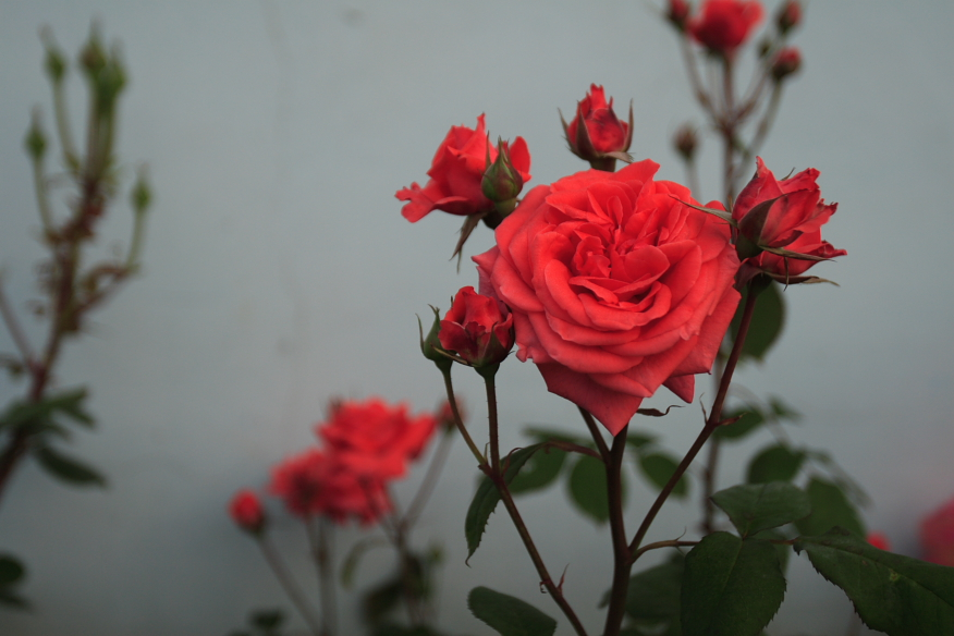 Chinese_Rose.JPG