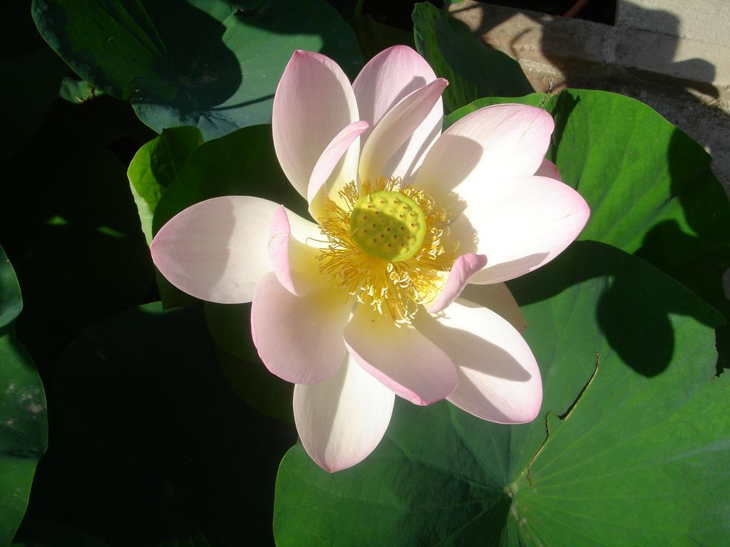 Fleur_de_lotus.jpg