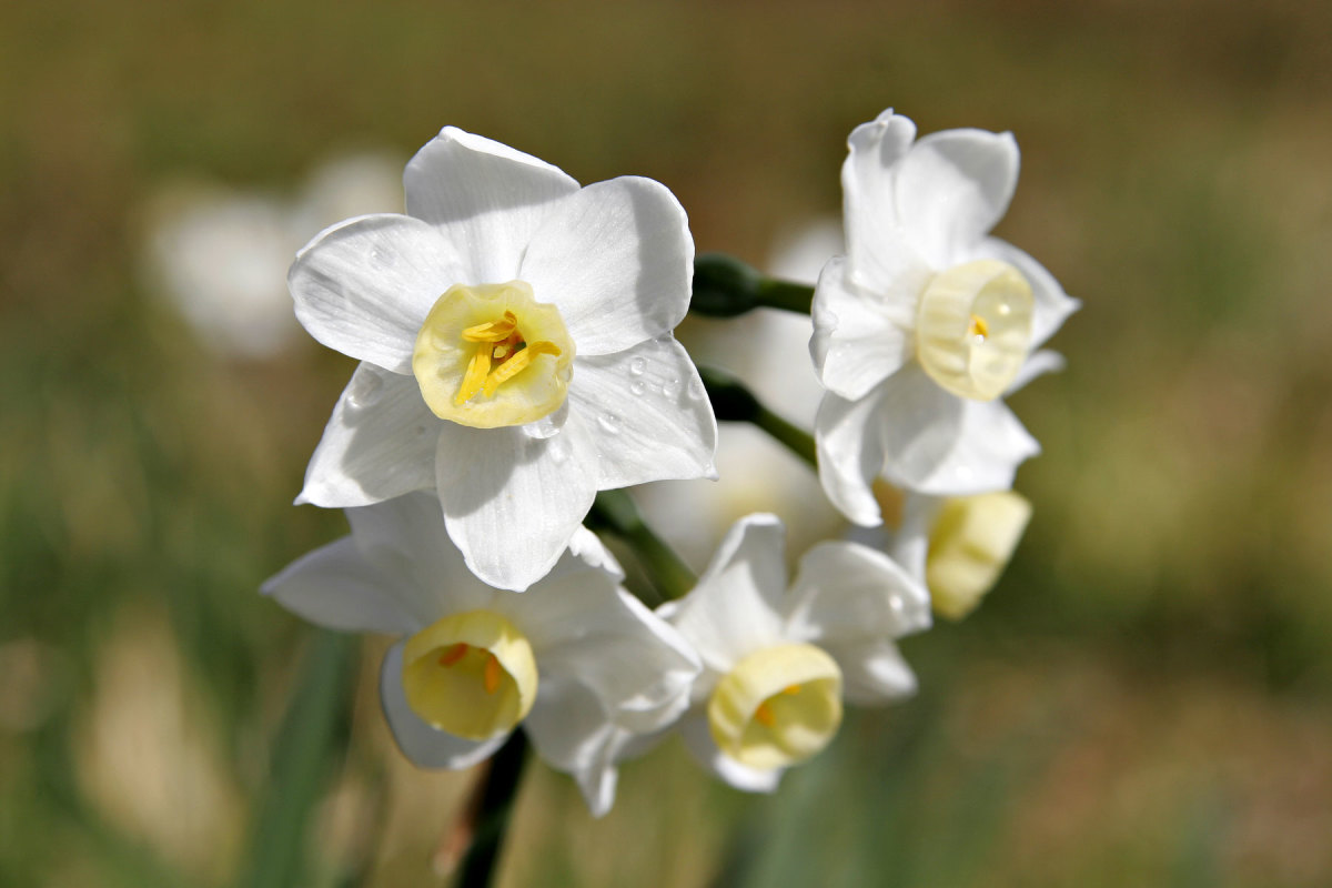 Jonquil_flowers06.jpg