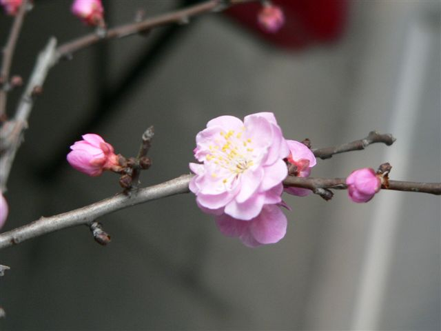 Plum_flower_1.JPG