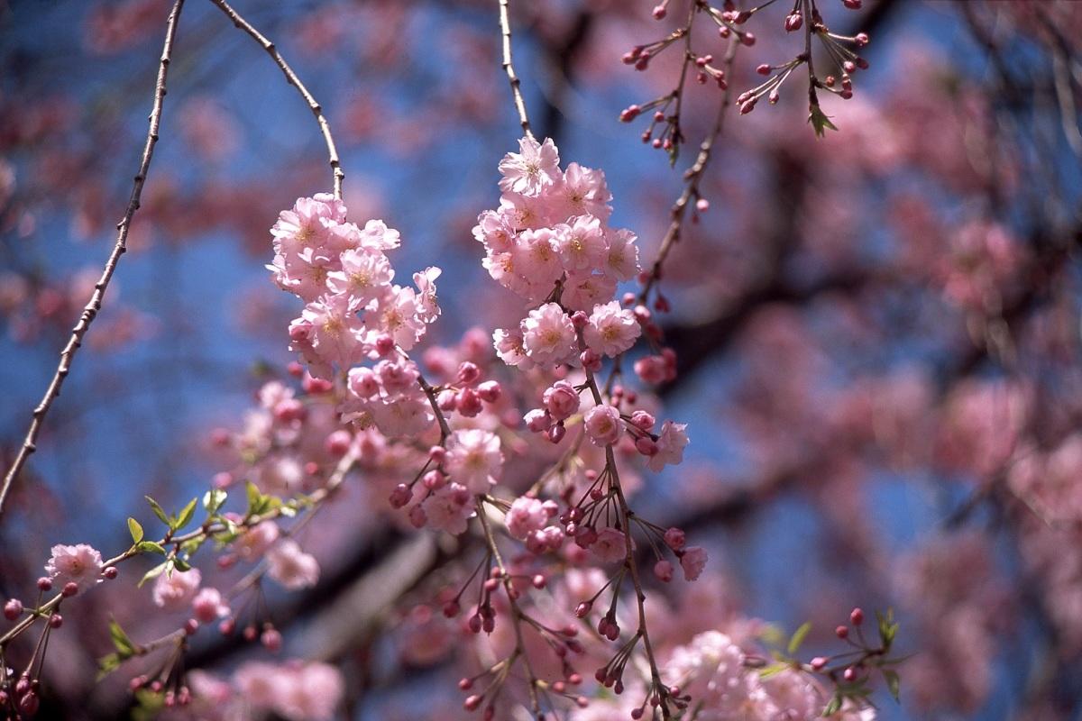 Sakura_s.jpg